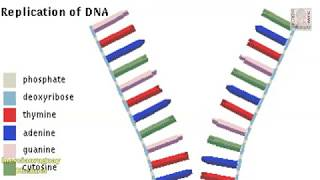 DNA Deoxyribonucleic Acid (DNA) ANIMATED REPRESENTATION WELL EXPLAINED GENETIC BIOLOGY