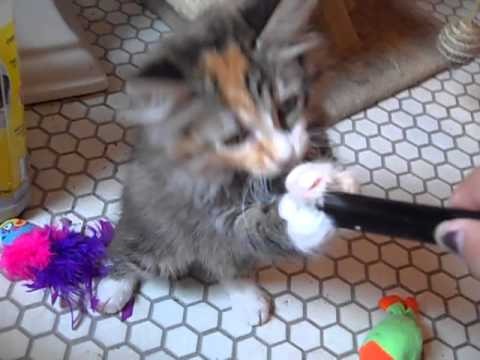 Meet Three Adorable Long Haired Kittens That Need Forever Homes