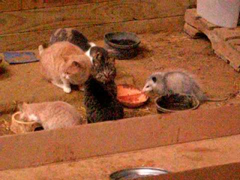 Opossum Eating With Cats In Barn