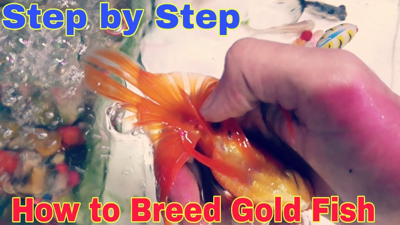 How to Breed Gold fish / Step By Step ( A.S Aquarium Fish Shop)