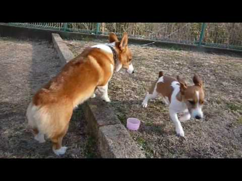 Goro@Welsh corgi 20090210 Jack Russell Terrier