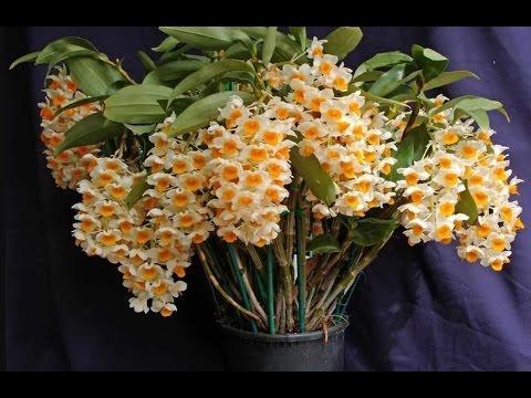 Орхидея дендробиум и фаленопсис уход в домашних условиях 15