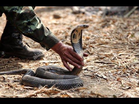 how-to-subdue-a-cobra