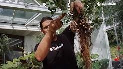La planta del cacahuete - Bricomanía - Jardinatis