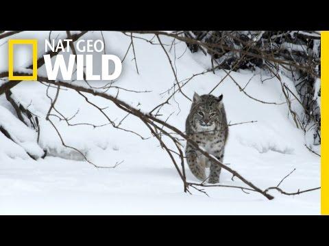 Bobcat Prey | Wild Mississippi