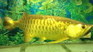 Arwana Golden Red 50 cm Jember