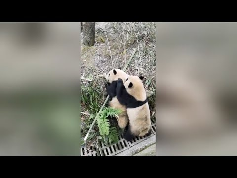 Pandas Vicious Fight Broken Up With Apples