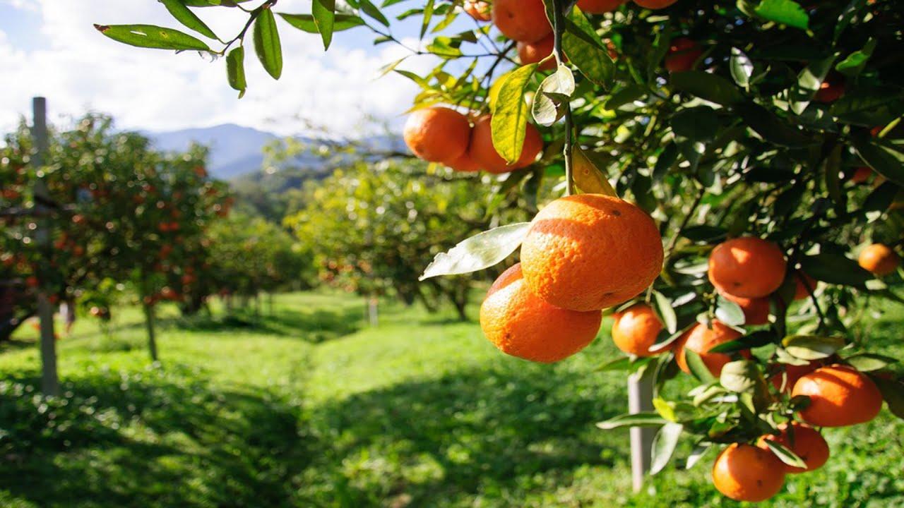 Berikut 9 Manfaat Jeruk Mandarin untuk Kesehatan