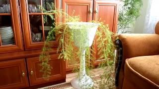 Мои комнатные цветы  Пересадка Аспарагуса Меера