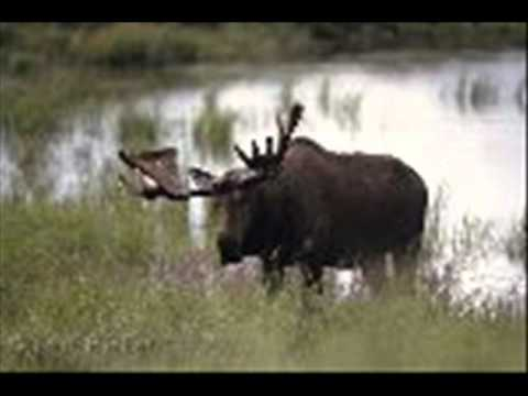 The Moose  3 PT HITCH