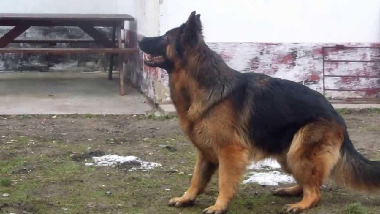Tresura owczarka niemieckiego
