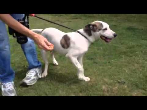 foxhound terrier alex 4 mo old foxhound terrier mix youtube 5436