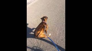 Boxer dog pulling bike