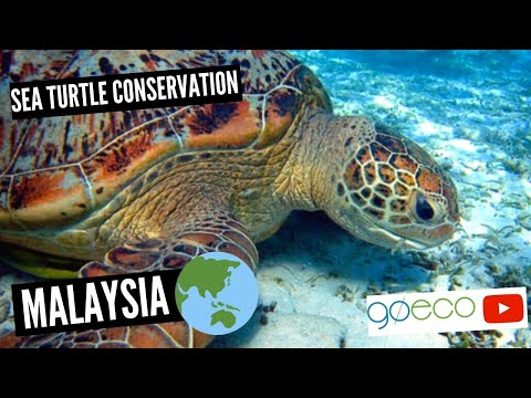 Sea Turtle Conservation on a Beautiful Island in Malaysia (Perhentian Islands)   GoEco