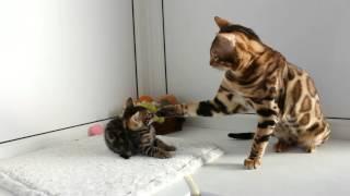 Бенгальский кот - bengalocats.com Питомник бенгальских кошек