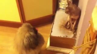 Пекинес Кузя предлагает дружбу коту....🤣