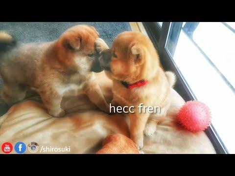 Wresslingo potats - MLIP / Ep 56 / Shiba Inu puppies