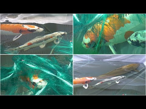 My Koi Breeding Project - Part 3 - The Second Night.....