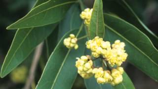 BIO 211 - The California Bay Laurel