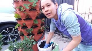 Cách trồng cây việt quất(blueberry) Và dau tây (strawberry) mau có thu hoạch