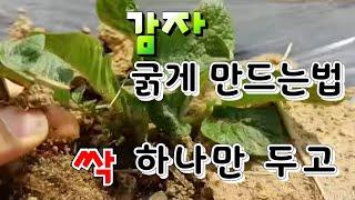 감자 크게 최고로 굵게 수확하기 꿀팁, 감자 재배법