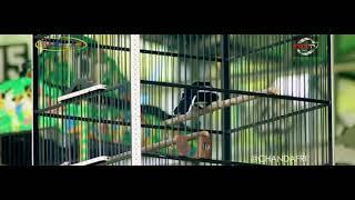 Gambar cover Suara Burung : Aksi Buka Ekor Kacer Asabil Mr Mbink Buris Rowo Team