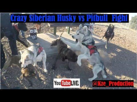 Siberian Husky Vs Pitbull Real Fight, How To Live Stream On Youtube App, Alpha
