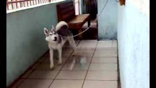 Siberian Husky From Angeles City, Philippines