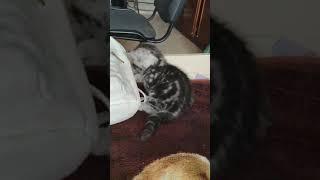 Продажа шотландских котят Харьков