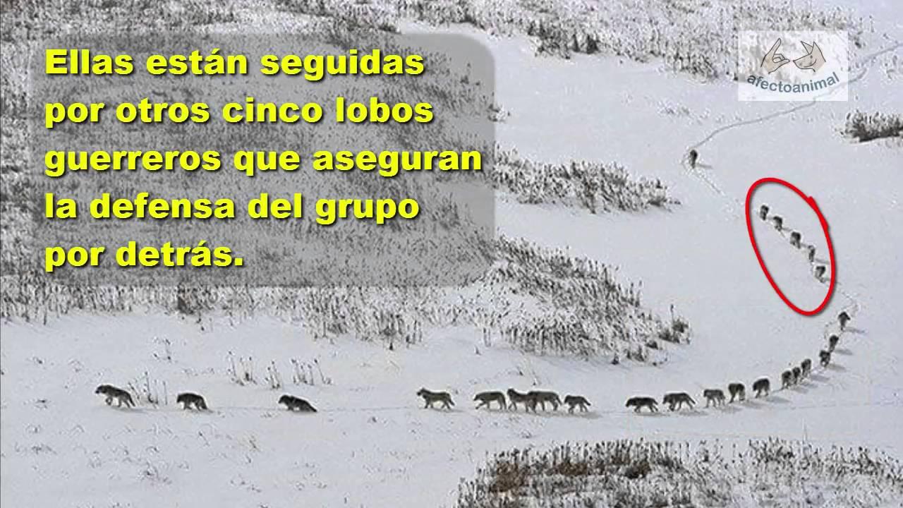 Comportamiento en manadas de  los lobos
