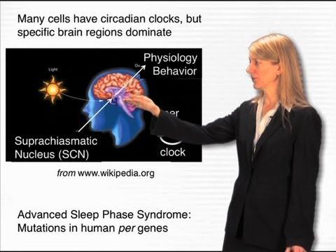 The circadian clock - Cori Bargmann (Rockefeller/HHMI)