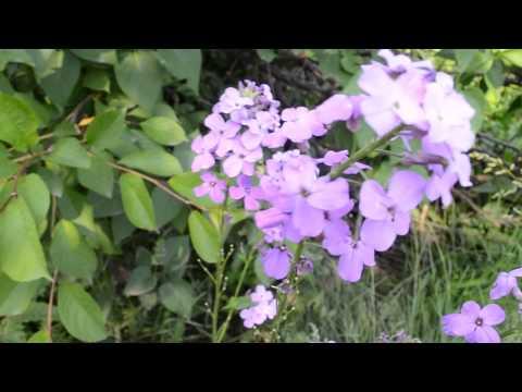 Красивые фиолетовые цветы
