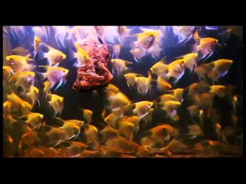 EBA Gold Angelfish