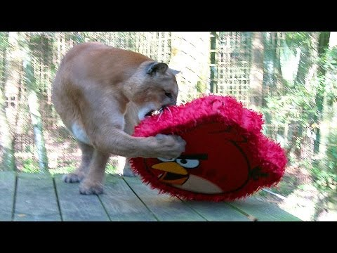 Angry Birds, Big Cats & Golden Eggs!