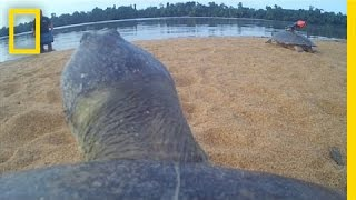 POV: Ride on the Back of a Giant River Turtle | National Geographic
