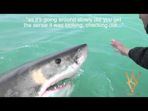 To Touch a Killer: WSV interview on white shark nose-ups