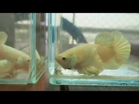 ปลากัดหูช้างสีขาว - white dumbo betta
