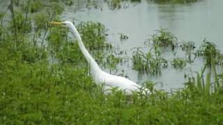 Большая белая цапля. White egret
