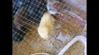 Kurczak maruda