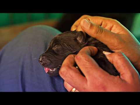 Black & Sable German Shepherd Puppies For Sale In Kerala