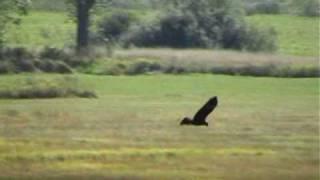 Marsh Harrier- Birds of Poland