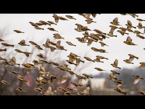 Хоровое пение, полеты и кормежка стаи полевых воробьев. Passer Montanus. Птицы Беларуси.