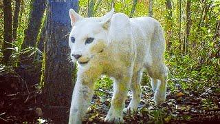 Люди не могут поверить в существование животного, которого зафиксировала фотоловушка