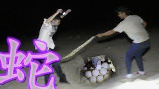 海亀の産卵を見に行ったら蛇だらけだった【毒蛇もいたよ】