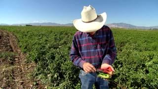 Chili Pepper Farmer