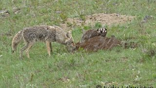 A Badger and a Coyote Hunting Together