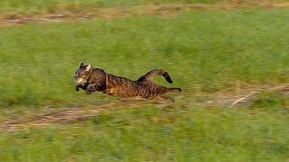 Running cat - slow motion 100fps