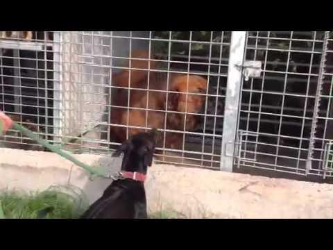 Chó PHÚ QUỐC của VIỆT NAM chiến đấu với NGAO Tây tạng