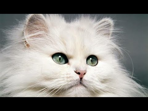 Facts about Persian cat Tamil