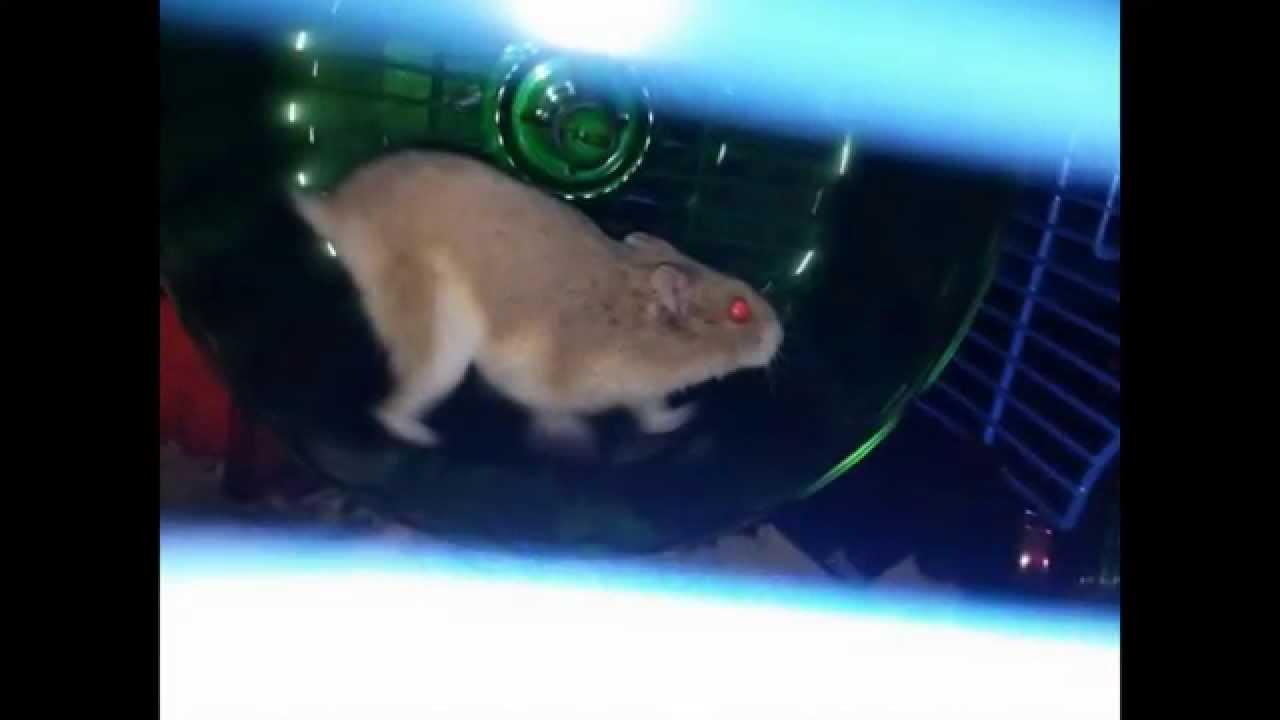 how to make a dwarf hamster like you